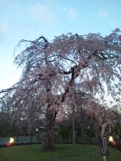 枝垂れ桜が綺麗な京都